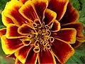 Marigold-tracy2.jpg