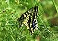 Mariposa desovando - butterfly laying eggs (249922946).jpg
