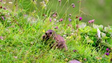 Datei:Marmot eating.webm