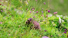 Marmot eating flowers
