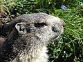 Marmotte en Vanoise (2).JPG
