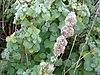 Marrubium supinum habitus 2009-12-13 DehesaBoyaldePuertollano