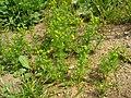 Matricaria discoidea plant (07).jpg