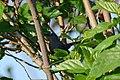 Maullador Gris, Gray Catbird, Dumetella carolinensis (11915532483).jpg