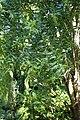 Maytenus boaria kz04.jpg