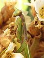 Mediterranean Mantis (15620748460).jpg