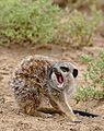 Meerkat (Suricata suricatta) yawning ... (30544634205) (2).jpg