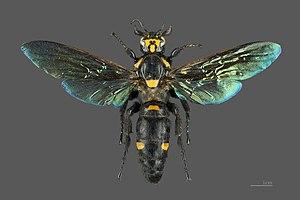 Megascolia procer - Female - MHNT