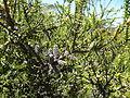 Melaleuca adnata (foliage and fruits).JPG