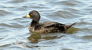 Black scoter - Adult male