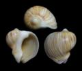 Melapium lineatum.png