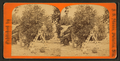 Men working at the orange grove, from Robert N. Dennis collection of stereoscopic views.png