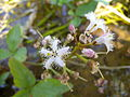 Menyanthes trifoliata 2 BOGA.jpg
