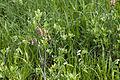 Menziesia multiflora 01.jpg