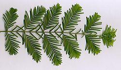 definition of metasequoia
