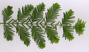 Metasequoia glyptostroboides - Image: Metaseq Leaves