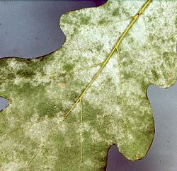 Microsphaera alphitoides on oak.jpg