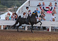 Mighty Mouse, a black saddlebred horse.jpg