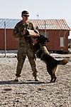 Military working dog training 120308-A-XU607-019.jpg