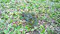 Mimosa, at Tongging, Karo.jpg
