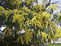 Mimosa in Lincoln's Inn Fields, London WC1.jpeg
