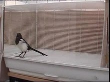 File:Mirror-Induced-Behavior-in-the-Magpie-(Pica-pica)-Evidence-of-Self-Recognition-pbio.0060202.sv001.ogv