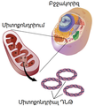 Mitochondrial dna lg hy.png