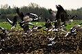 Mixed Greylag & Canada Goose flock, Netherlands.jpg