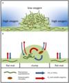Model of a clumped cyanobacterial mat.webp