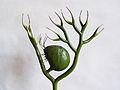 Modell von Utricularia vulgaris (Gewöhnlicher Wasserschlauch) -Brendel Nr.135- (2).jpg