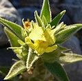 Mohavea breviflora 4.jpg