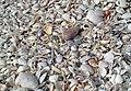 Mollusc shells on marine beach (Cayo Costa Island, Florida, USA) 19 (26177517605).jpg