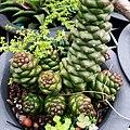 Monadenium sp. - panoramio.jpg