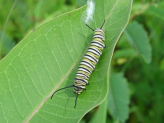 Monarch larvae on milkweed leaf