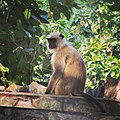Monkey at the Jharkhand.jpg