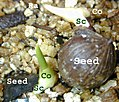 Monocot seedling.jpg