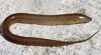 Asian swamp eel - Image: Monopterus albus 2