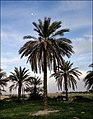 Moon... Palm... Horse... - panoramio.jpg