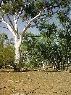 Moonah Creek Hanging Tree