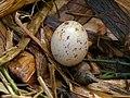 Moorhen Nest 08-05-12 (7160421096).jpg