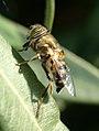 Mosca de las flores 01 - Eristalodes taeniops - Hover fly (269257356).jpg