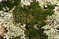 Mosses - Flickr - aspidoscelis.jpg