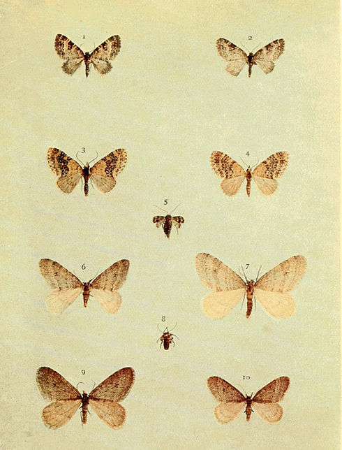 Moths of the British Isles Series2 Plate058.jpg