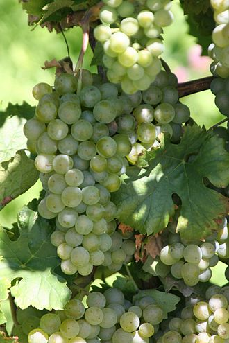 Swiss cuisine - Müller-Thurgau grapes are used to create Riesling X Sylvaner, a common white wine in Switzerland