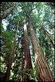 Muir Woods National Monument, California (732d3e9b-70ad-4d9c-a26a-ddf5b00516f3).jpg