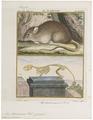 Mus decumanus - met skelet - 1700-1880 - Print - Iconographia Zoologica - Special Collections University of Amsterdam - UBA01 IZ20500081.tif