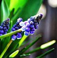 Muscari Commonly known as the Grape Hyacinth wifeysflowers.jpg
