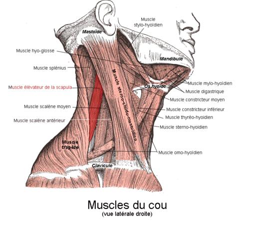 肩甲挙筋の解剖図 横向き