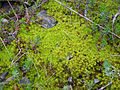 Musgo Pleurochaete squarrosa Habitat 2010-3-07 SierraMadrona.jpg