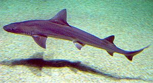 Sand tiger shark - A bottom-living smooth-hound shark, one of the important prey items of sand tiger sharks